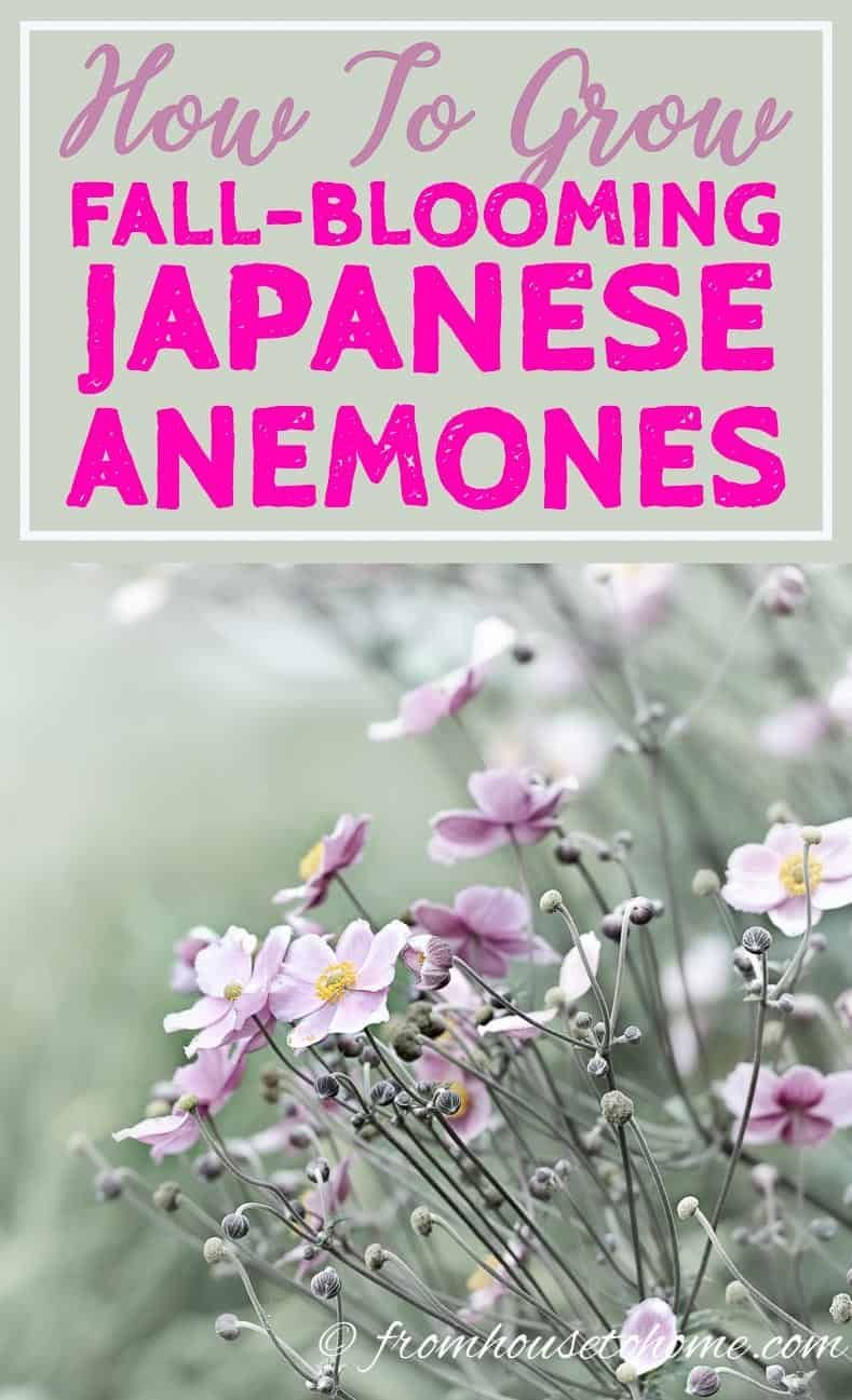 Japanese Anemones How To Grow And Care For These Fall Blooming Flowers Gardening From House To Home Japanese Anemone Fall Blooming Flowers Anemone