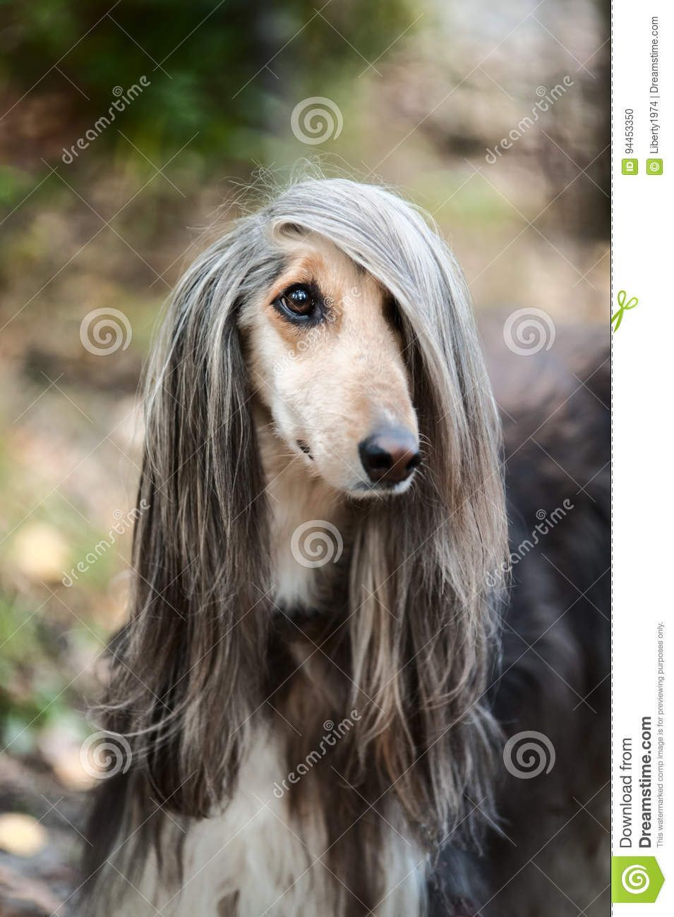 Afghan Hound The Afghan Hound Is A Long Haired Relative Of The Greyhound That Is Distinguis Long Haired Dog Breeds Most Beautiful Dog Breeds Long Haired Dogs