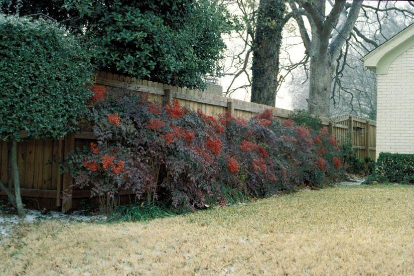 Nandina Heavenly Bamboo Actually Evergreen Shrub Not Bamboo Has Berries Flowers Bamboo Hedge Evergreen Plants Evergreen Shrubs