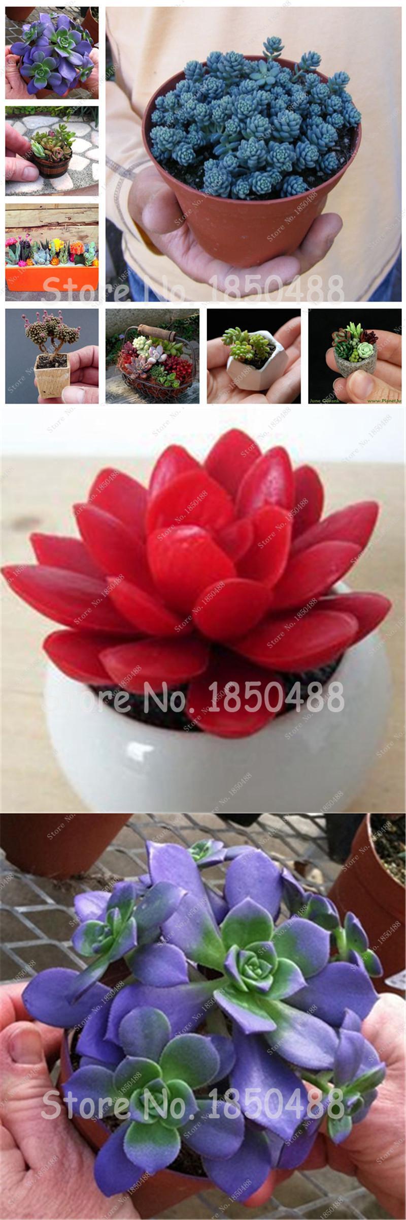 Visit To Buy Hot Sale 200 Succulent Plant Living Stones Lithops