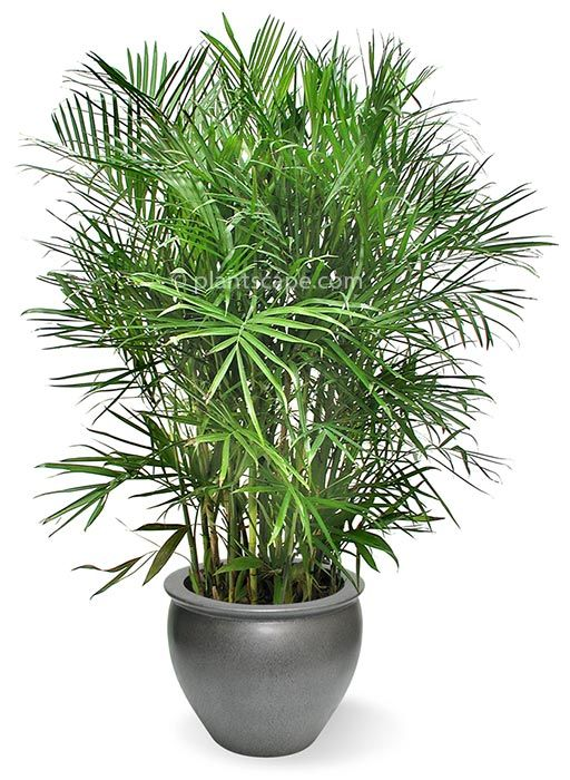 Bamboo Palm / Reed Palm | Best Indoor Plants | Garden Love ...