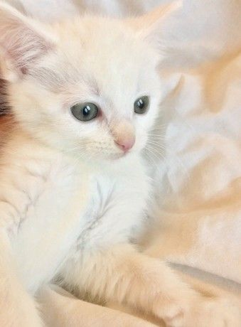 Beautiful Cross Angora Kittens For New Loving Homes London Pets Kittens Mascot