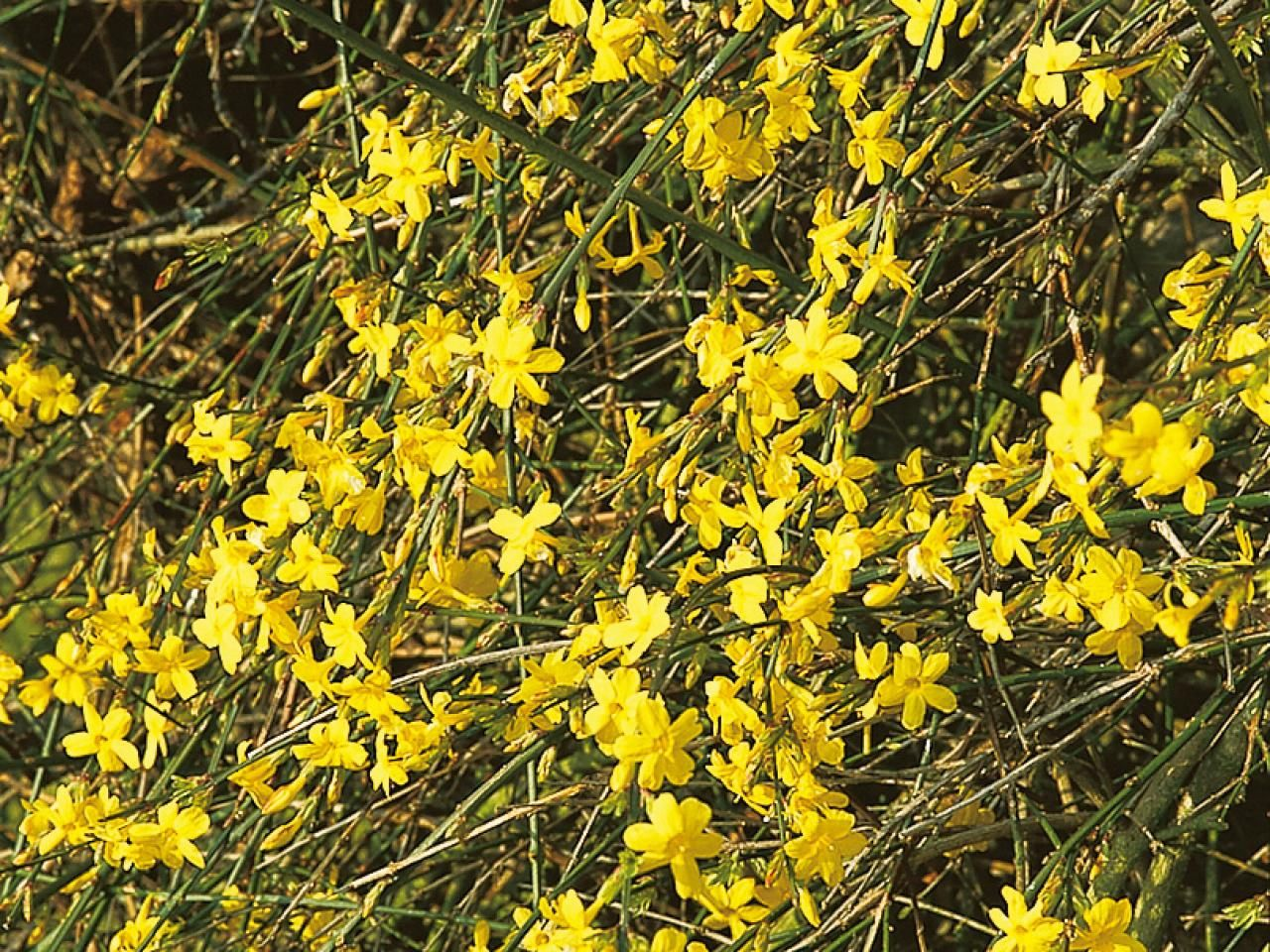 Plants that flower in winter winter jasmine perennials and yellow plants that flower in winter izmirmasajfo