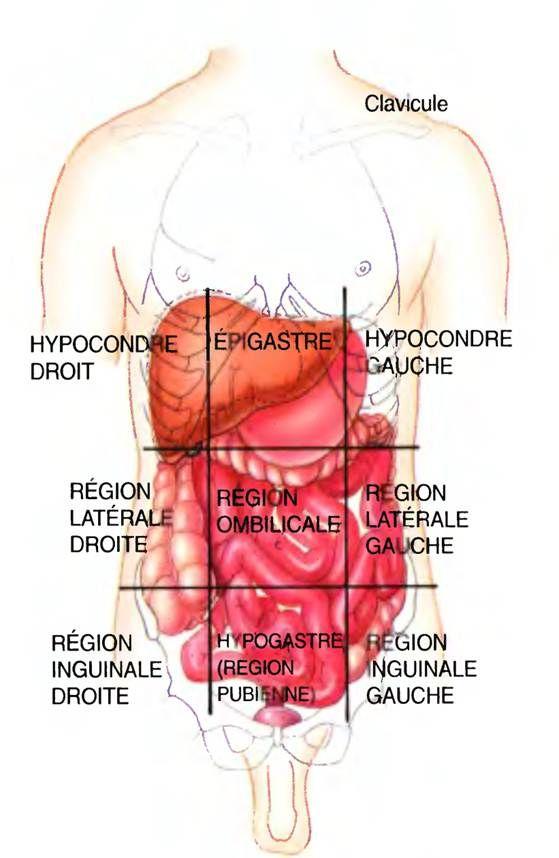 Anatomie Image anatomie de l'abdomen . la paroi abdominale est divisée en 9 zones
