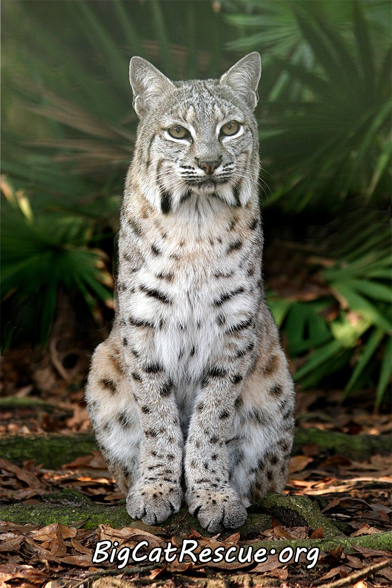 Bobcats coat color varies and has been recorded in shades