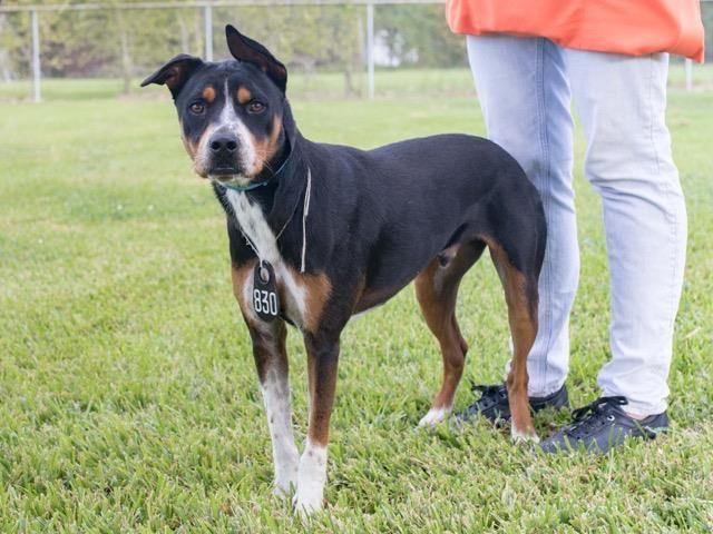 12 18 Month Male Rottweiler Dog For Adoption: 10/18/16-NIKKO
