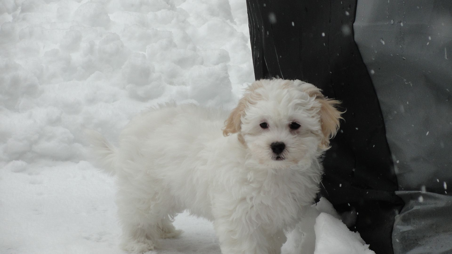 Bichon Frise And Lhasa Apso Mix Looks Like Bailey But She Is