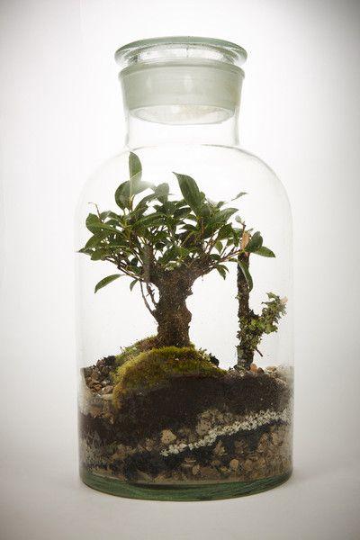 meadow xl bonsa ficus retusa 5 ans terrarium humide green factory ter rium pinterest. Black Bedroom Furniture Sets. Home Design Ideas