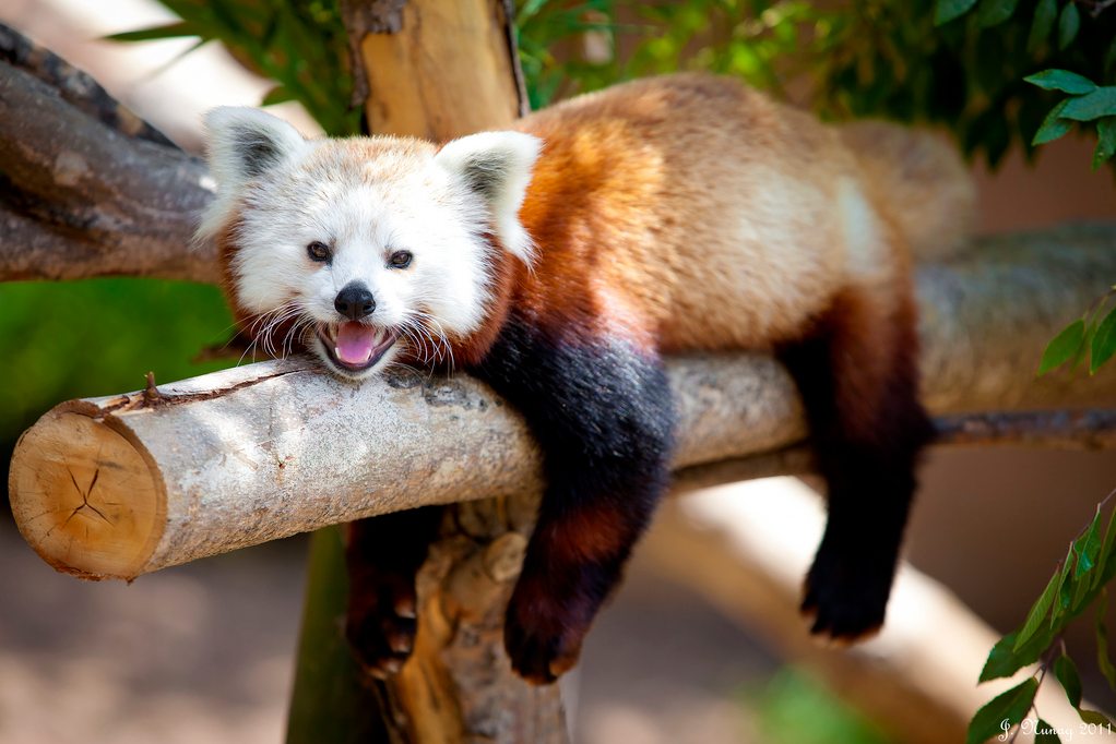 4947abc70 another red panda at the San Diego Zoo   Pets I want but will never ...