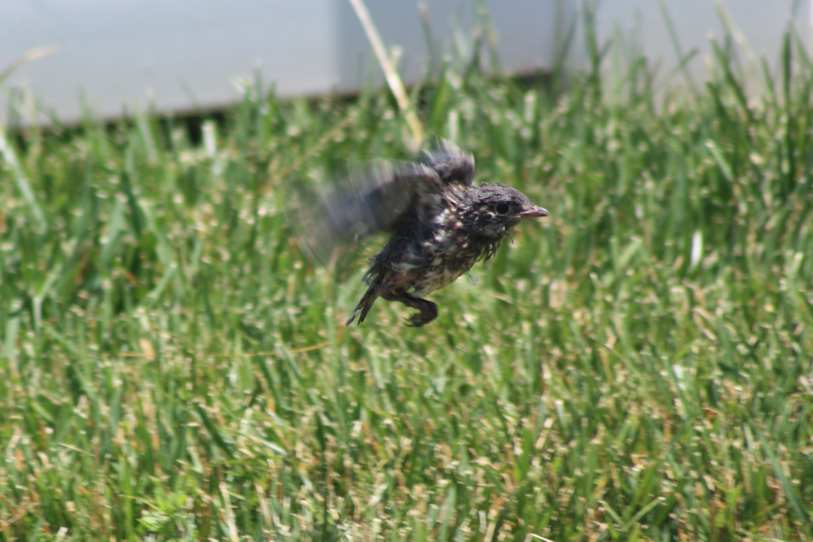 Baby Bluebird learning to fly!   Backyard birds, Birds ...