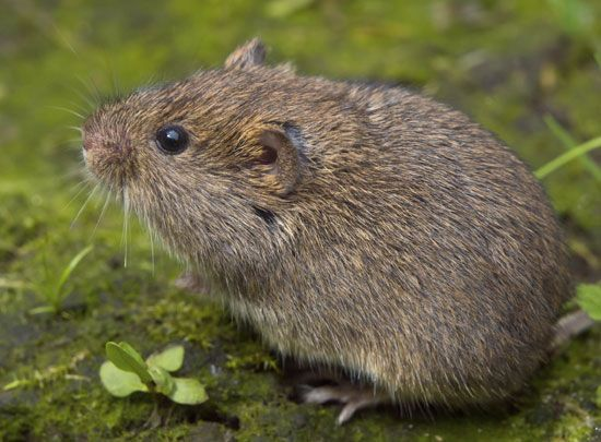 2c557dd4db08628673033410c8782699 - How To Get Rid Of Voles Without Killing Them