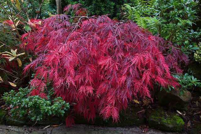 Changing To Crimson Garden And Landscaping Japanese Maple Garden