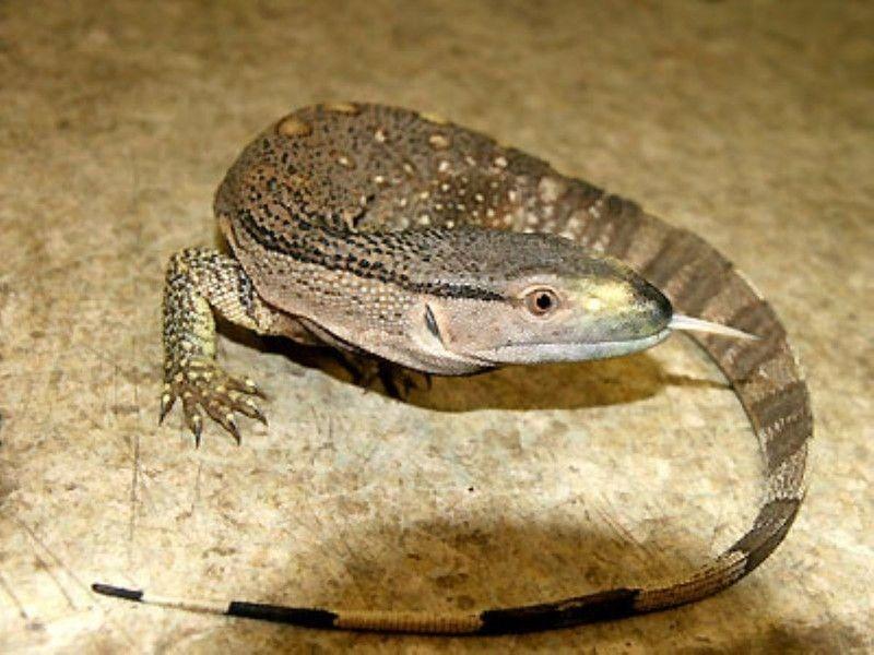アフリカンロックモニター 爬虫類 トカゲの基本知識と飼育方法 トカゲ 爬虫類 オオトカゲ
