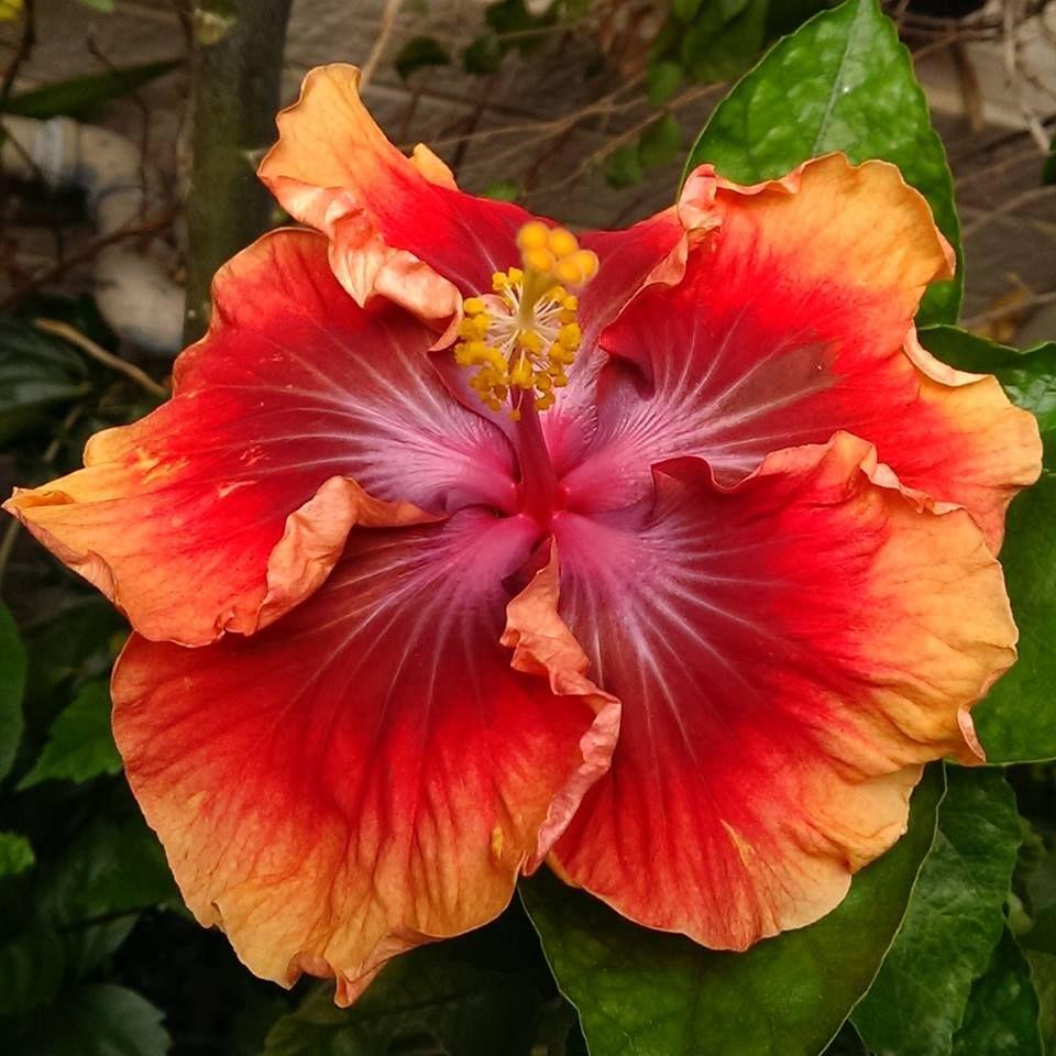 Formosa Rainbow Whirlwind Pretty Flowers Beautiful Flowers Hibiscus