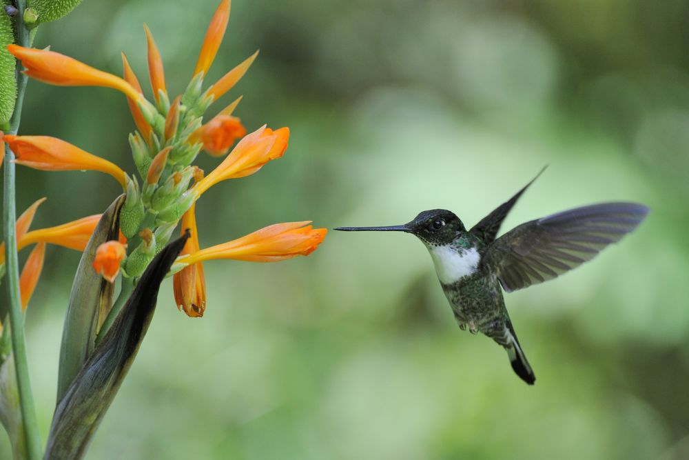 0fc9ab364075cb The Inca Hummingbird in the Amazon Rainforest | Amazon Rainforest ...