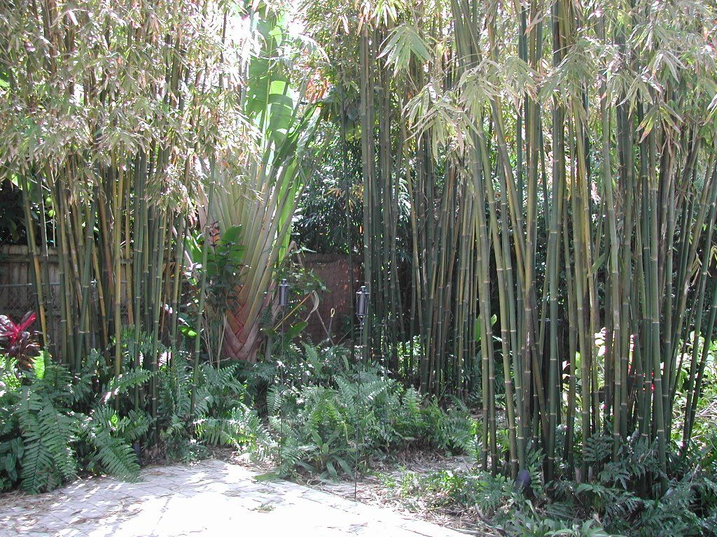 bamboo privacy landscape   tropical bamboo landscaping!   gardening