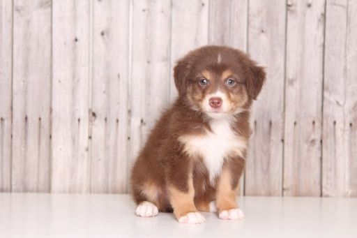 Australian Shepherd Puppy For Sale In Mount Vernon Oh Adn 34391