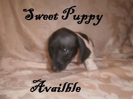 Black Piebald Male Mini Dachshund Available Located In South Ms