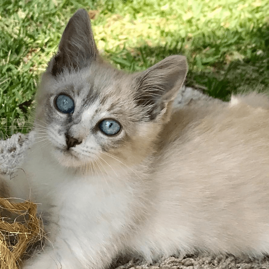 Meet The Sweet And Sassy Siamese Kitten With Paralysis Who
