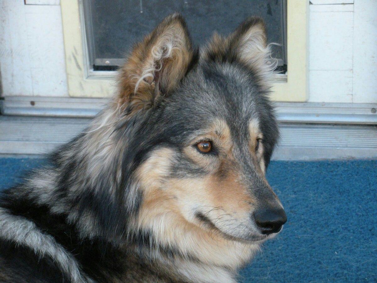 Malamute Keeshond Siberian Husky Mix Named Sierra Hybrid Dogs
