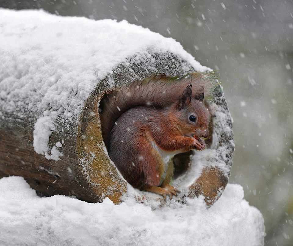SEASON'S GREETINGS! via Frans de Waal - Public Page FB Happy holidays to y'all.  Red squirrel by Ron Coulter