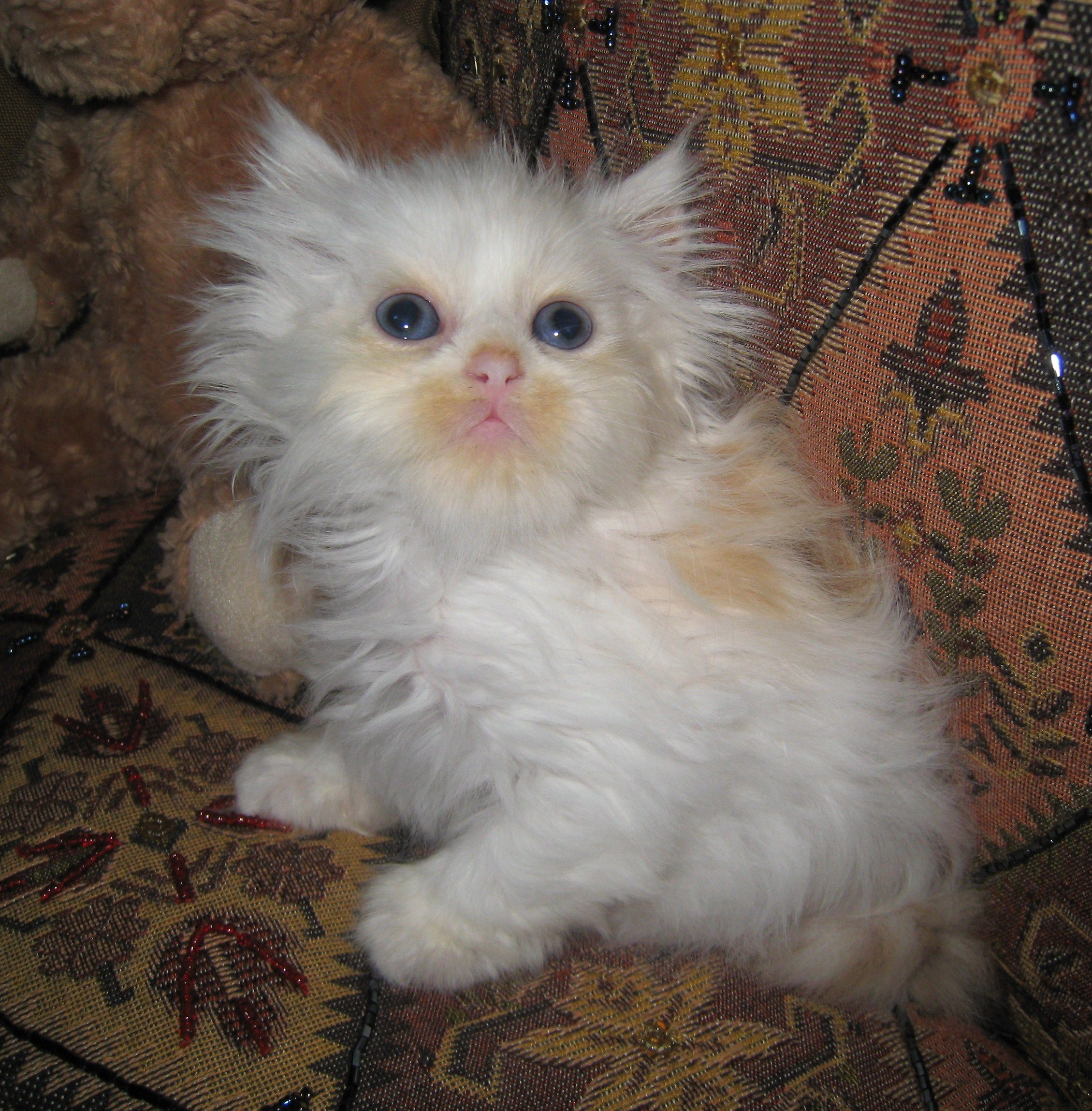 Google Image Result For Http Www Purringangelscattery Com Images Sept8th2010 10 Jpg Baby Animals Teacup Kitten Animals Beautiful