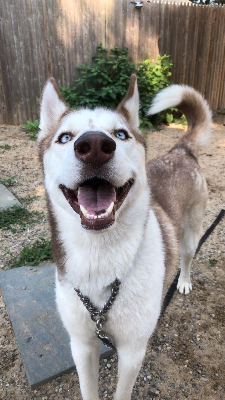 Adopt Chloe on Dog adoption, Dogs, Husky dogs