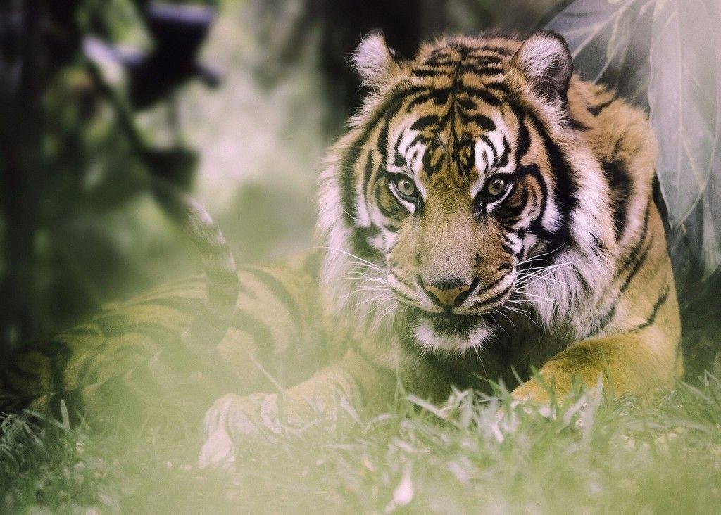 Tiger Predator Stare Sit Animal Wallpaper