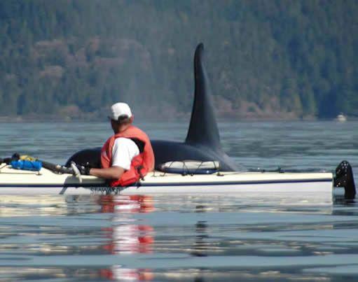 Killer whale surprises a kayaker