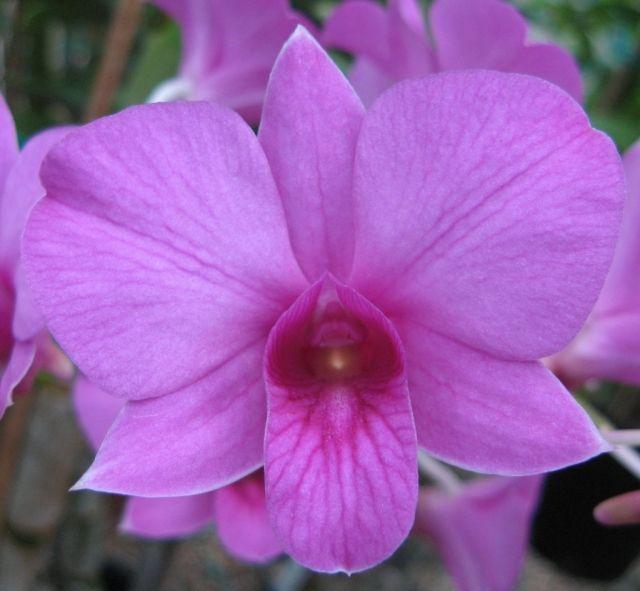 Dendrobium Bigibbum V Superbum X V Compactum
