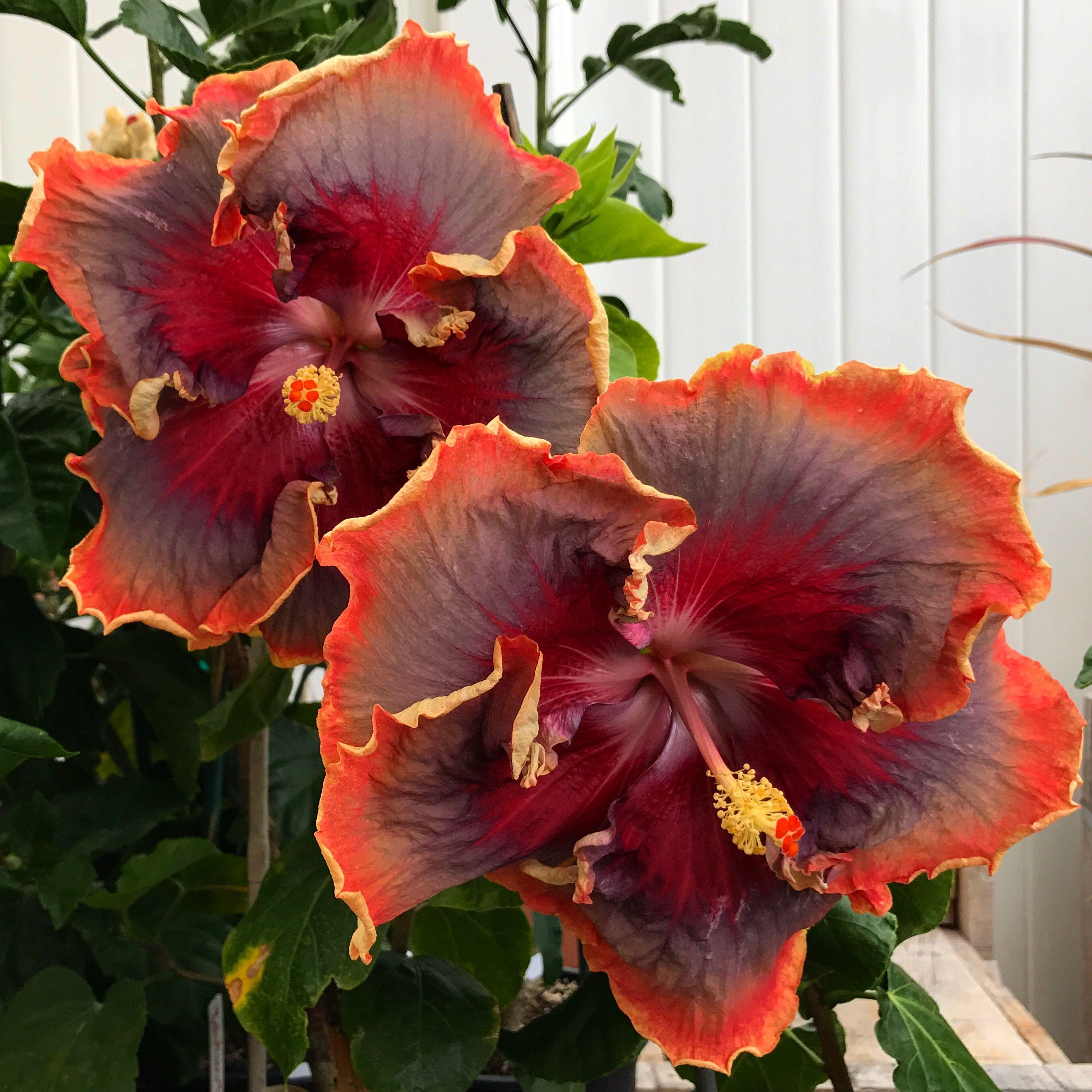 Night runner hibiscus hibiscus of hawaii pinterest hibiscus night runner hibiscus izmirmasajfo Gallery
