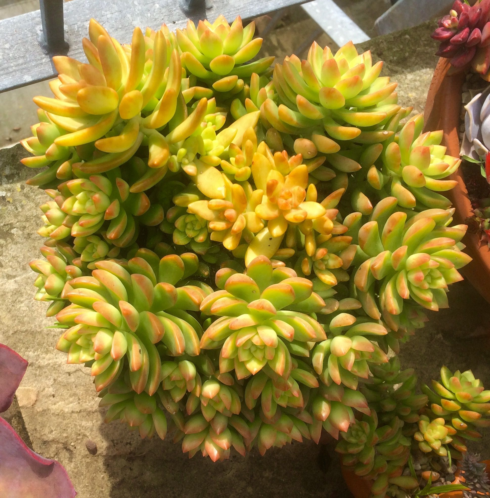Sedum Nussbaumerianum And Adolphi In A Pot Together They Contrast