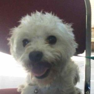 Elissa Much Love Animal Rescue Lucky Dogs Maltese Mix Cute