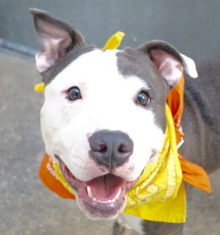 Manhattan Center GREG – A1093887 MALE, GRAY / WHITE, AM PIT BULL TER MIX, 11 mos STRAY – STRAY WAIT, NO HOLD Reason STRAY Intake condition EXAM REQ Intake Date 10/18/2016, From NY 10458, DueOut Date 10/21/2016,