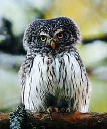 Pin By Ivonne Marie On Observant Owls Bird Pictures Animals Owl