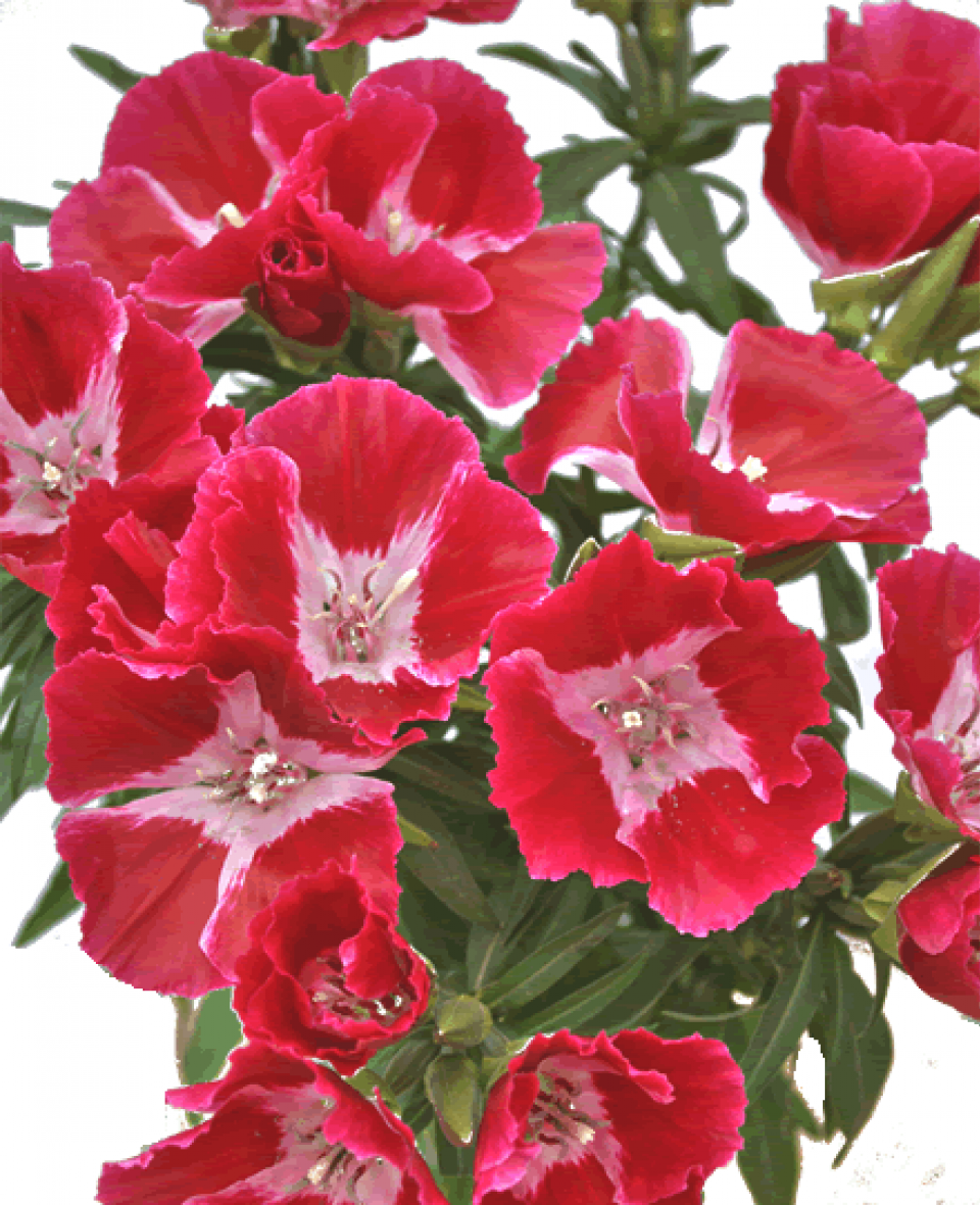 Red Godetia Www Theflowerexchange Com The Red Godetia Is A Unique Flower With 4 5 Flowers On Each Stem That Beautiful Flowers Flowers Easy Plants To Grow