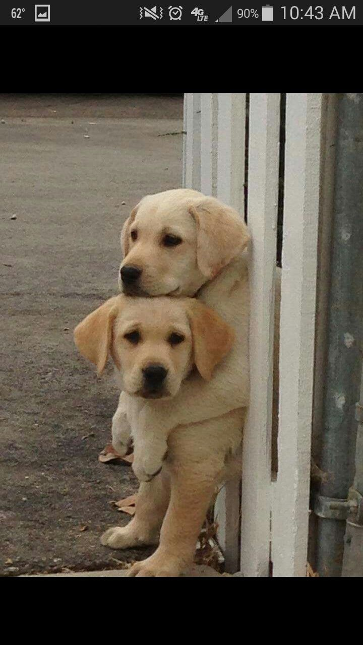 Top What You Doing Man Bottom Nothing Just Waiting For Mom To Come Home Why Top No Reason I Came Labrador Retriever Puppies Cute Dogs Yellow Lab Puppies