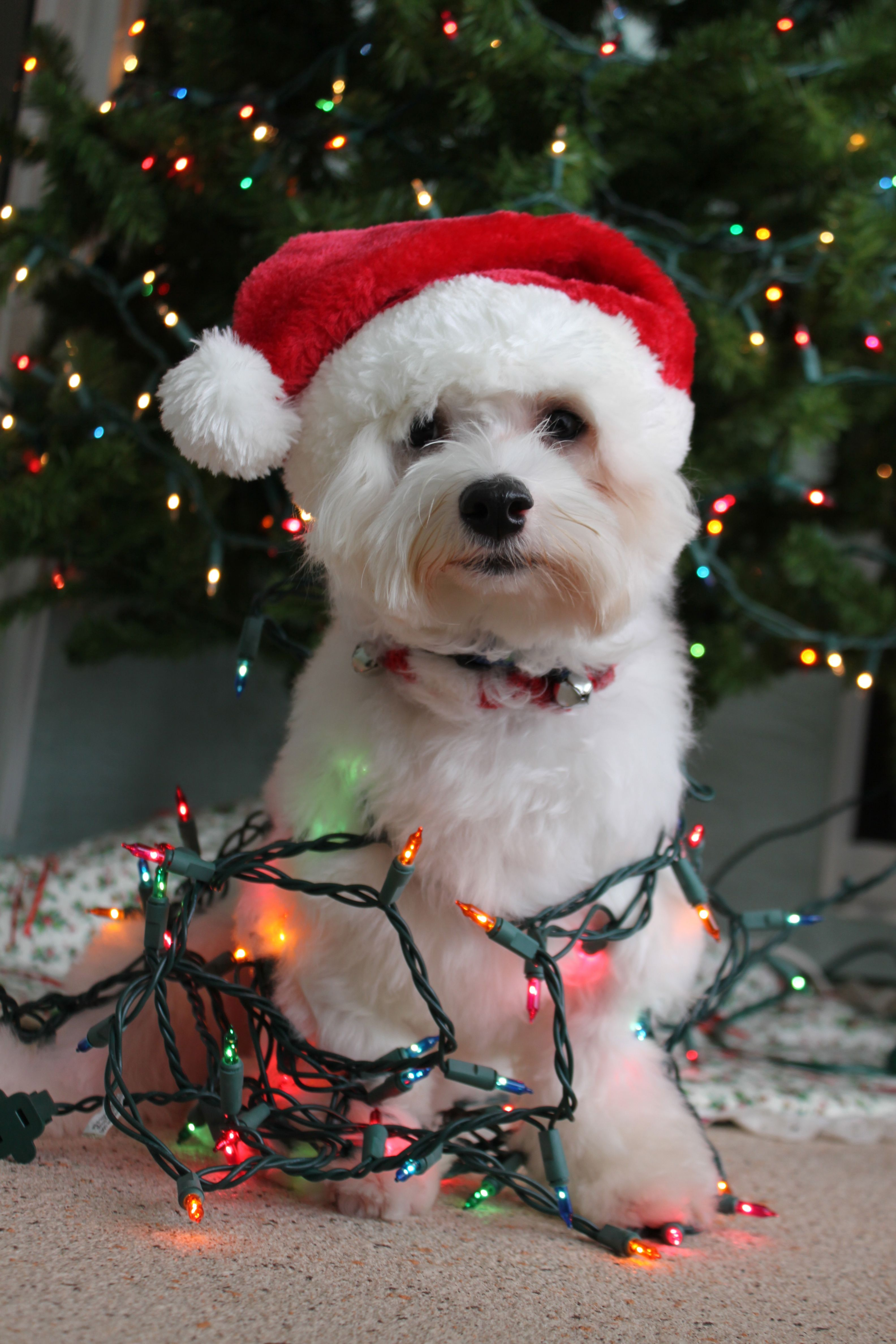 Dog Wrapped in Christmas Lights With Santa hat