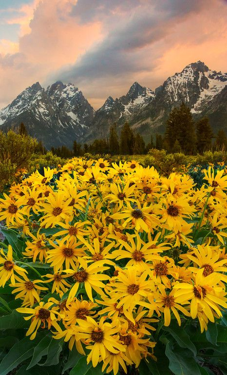 Arrowroot Balsam - Grand Tetons National Park, Wyoming