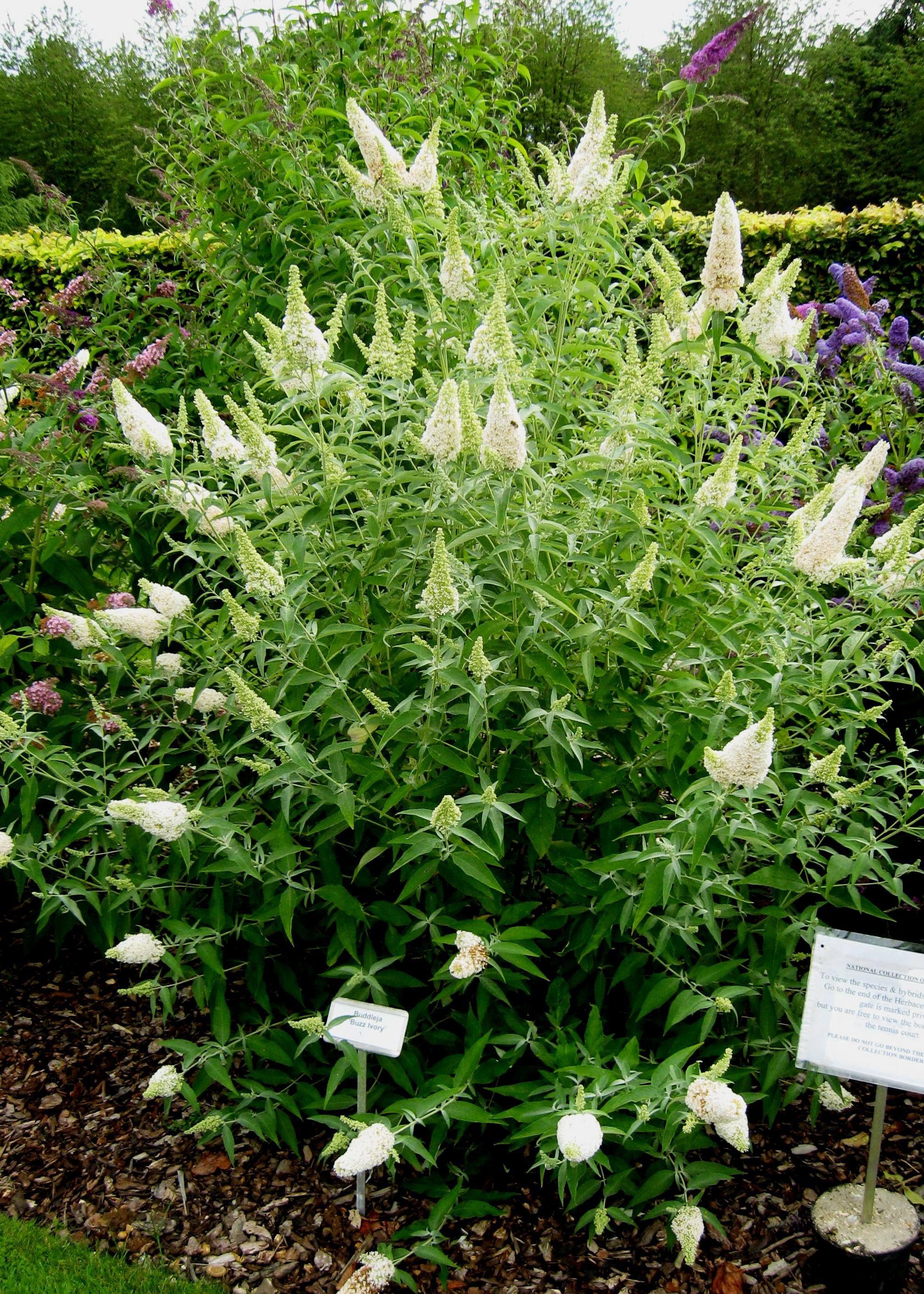 Buddleja Buzz Ivory 3 X3 Beautiful Dwarf Butterfly Bush Plants Garden Shrubs Butterfly Bush