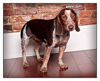 Beagle German Shorthaired Pointer Mix Google Search German