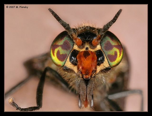 Deer Fly.  Hate these damn bugs, but they do have pretty eyes.