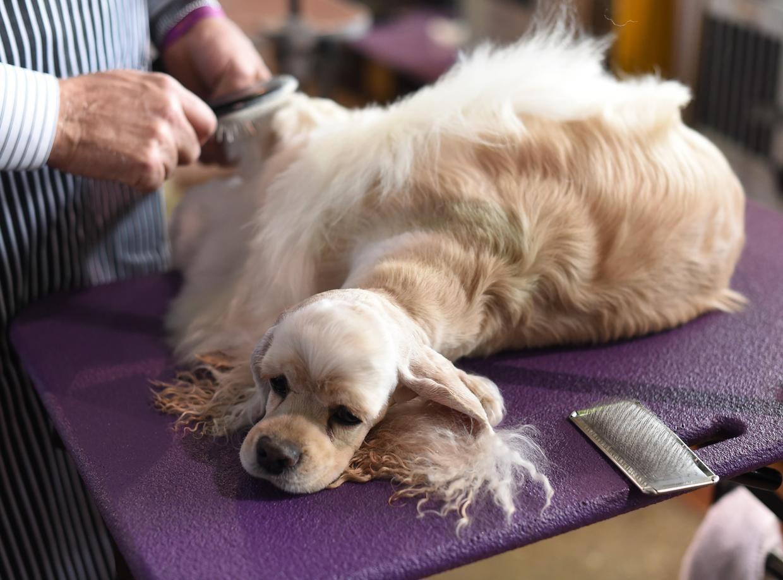 Westminster Kennel Club Dog Show 2017 Westminster Dog Show Dog