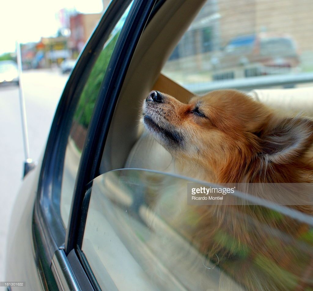 Dog looking out car window while taking a whiff of Chicago