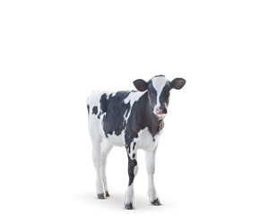 image about product Calf & Heifer   ganado   Cow feed, Cow