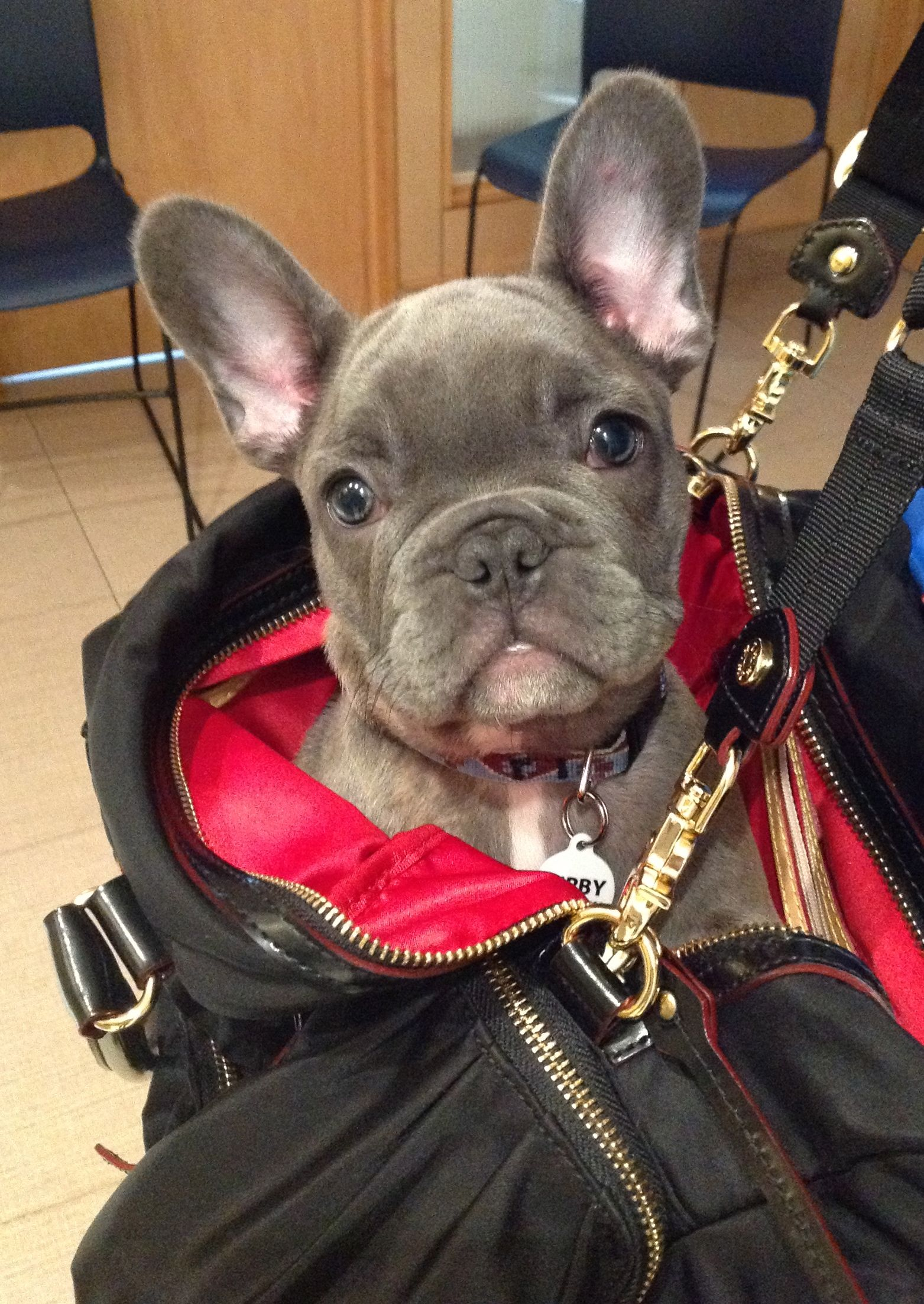 Baby Blue Kirby The Frenchbulldog Arrives For Puppy Play Group