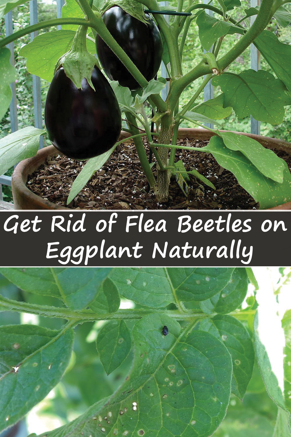 How To Get Rid Of Flea Beetles In House