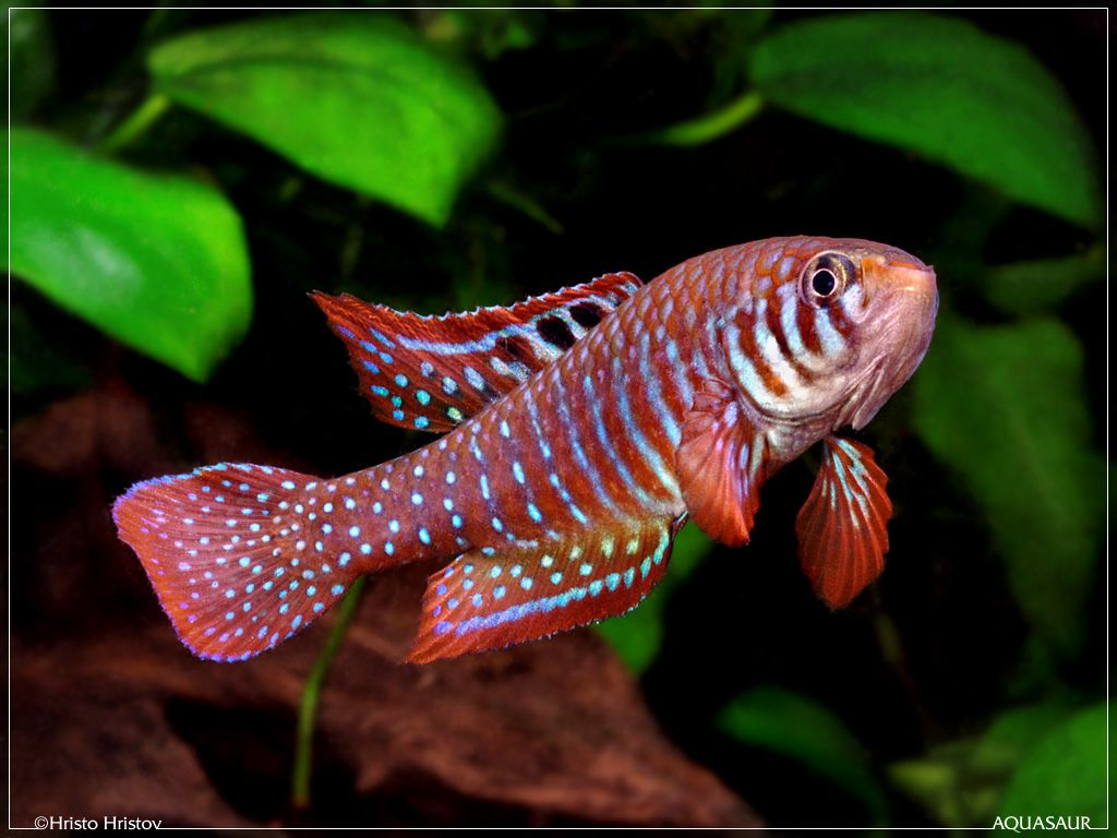 Freshwater aquarium fish lifespan - Killifish Nothobranchius Eggersi Utete Tropical Fish Pinterest Fish Photos And Water