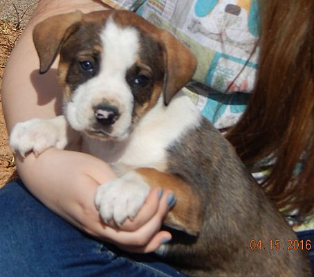 Australian Shepherd Boxer Mix Puppy For Adoption In Sussex New