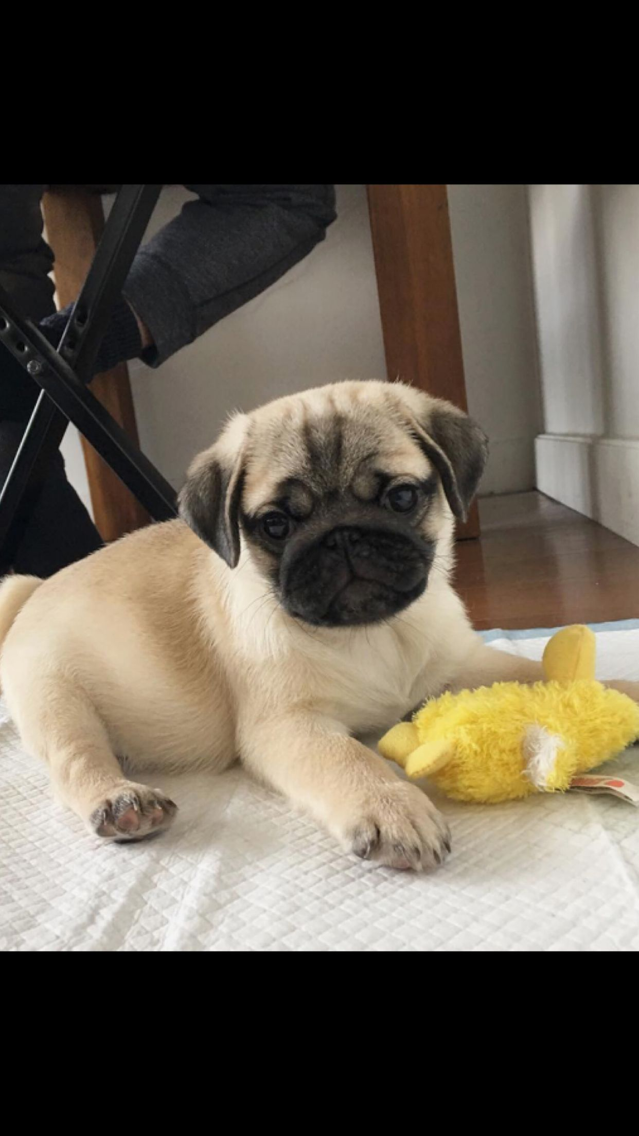 Pug Puppies For Sale Fawn Pug Puppy Black Pug Puppy Contact Our